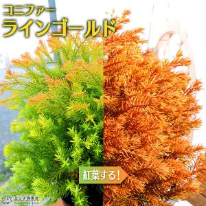 コニファー 『 ラインゴールド 』 15cmポット苗|produce87