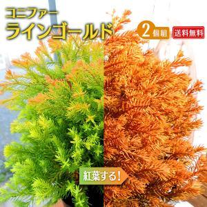 コニファー 『 ラインゴールド 』 2個セット 送料無料 15cmポット苗|produce87