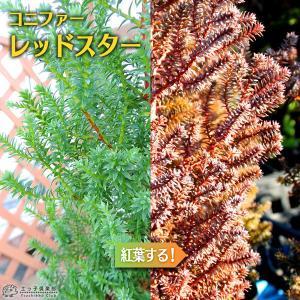 コニファー 『 レッドスター 』 15cmポット苗 produce87