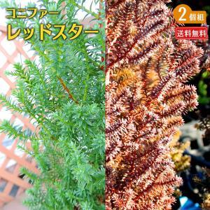 コニファー 『 レッドスター 』 2個セット 送料無料 15cmポット苗|produce87