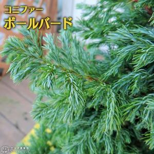 コニファー 『 ボールバード 』 15cmポット苗|produce87