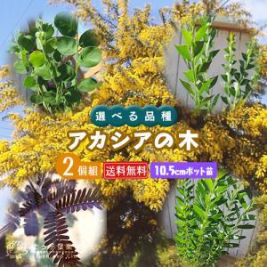 アカシアの木 2個セット ( 送料無料 ) 10.5cmポット苗 (ブルーブッシュ、三角葉、パール、プルプレア) 選べる品種|produce87