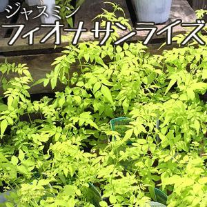ジャスミン 『 フィオナサンライズ 』 9cmポット苗|produce87