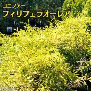 コニファー 『 フィリフェラオーレア 』 15cmポット苗|produce87