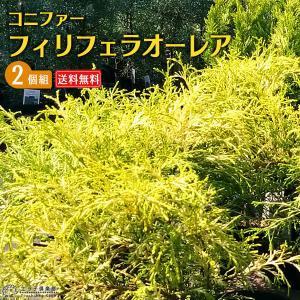 コニファー 『 フィリフェラオーレア 』 2個セット 送料無料 15cmポット苗|produce87