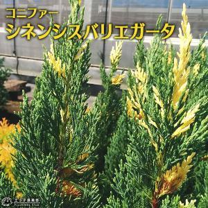 コニファー 『 シネンシスバリエガータ 』 15cmポット苗|produce87