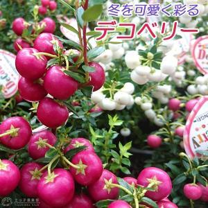 《 実付き 》 デコベリー 9cmポット苗 ( ハッピーベリー、真珠の木、パールツリー、ペルネチア、ペルネッティア )|produce87