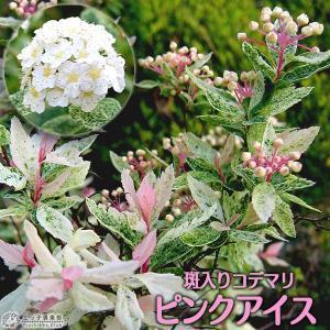 斑入りコデマリ 『ピンクアイス』 10.5cmポット苗...
