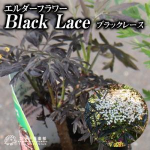 エルダーフラワー 西洋ニワトコ ブラックレース 12cmポット苗|produce87