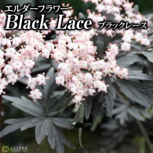 エルダーフラワー ( 西洋ニワトコ ) 『 ブラックレース 』 9cmポット苗|produce87