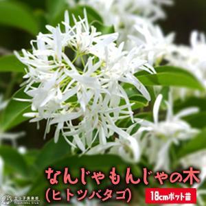 なんじゃもんじゃの木 ( ヒトツバタゴ ) 18cmポット大苗|produce87
