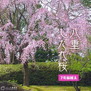 八重しだれ桜 ( ピンク ) 接ぎ木 7号鉢植え|produce87