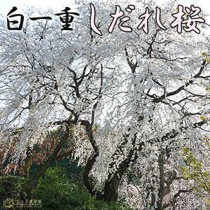 一重しだれ桜 ( 白 ) 接ぎ木 7号鉢植え|produce87