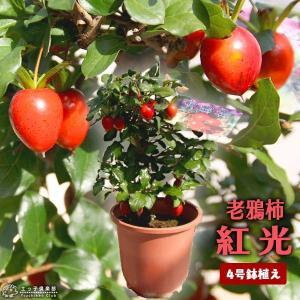 ロウヤガキは、小さな実が観賞価値が高く、盆栽などで広く親しまれている中国原産の柿です。衝羽根柿(ツク...