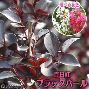 黒葉サルスベリ 『 ブラックパール 』 6号スリット鉢植え (選べる花色)|produce87