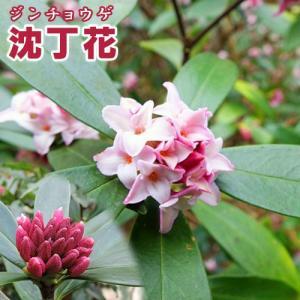 沈丁花 ( ジンチョウゲ ) 赤花 15cmポット苗|produce87