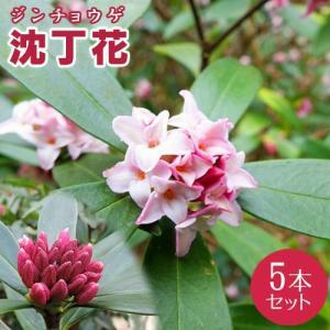 沈丁花 ( ジンチョウゲ ) 赤花 15cmポット苗 5本セット|produce87