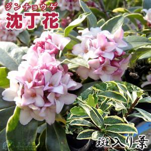 斑入り 沈丁花  赤花 15cmポット苗( フクリン ジンチョウゲ )|produce87