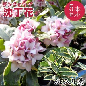 斑入り 沈丁花  赤花 15cmポット苗( フクリン ジンチョウゲ ) 5本セット|produce87