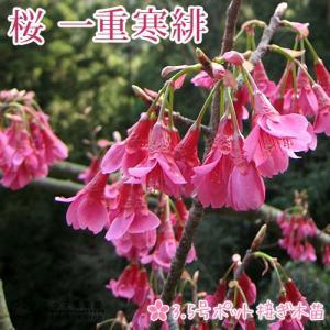 桜 『 一重寒緋( ヒトエカンヒ )』 接ぎ木 10.5cmポット 苗木 ( 緋寒桜/ヒカンザクラ )|produce87