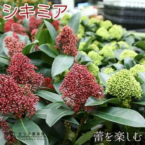 シキミア ( スキミア ) 10.5cmポット 苗木 ( ルベラ / ホワイトグローブ )【 選べる品種 】|produce87