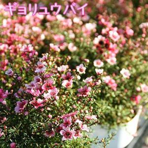 ( 花芽付き ) ギョリュウバイ 4号鉢植え 苗木 ( 魚柳梅 御柳梅 )|produce87