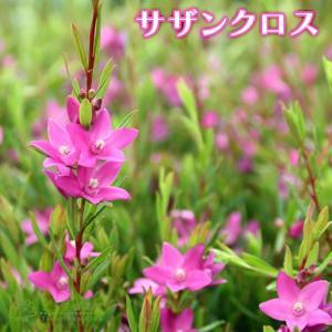 サザンクロス ( クロウエア サリグナ ) 10.5cmポット苗|produce87