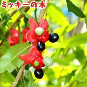 ミッキーの木 ( オクナ セルラタ ) 13.5cmポット 苗木|produce87
