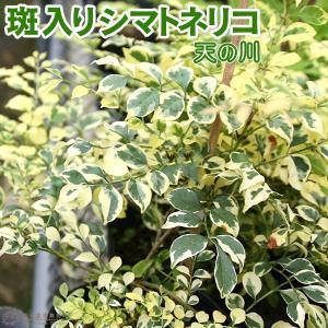 斑入り シマトネリコ 『 天の川 』 13.5cmポット苗木 ( 斑入り葉 )|produce87