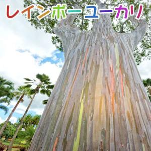 【珍種】ユーカリの木 『 レインボーユーカリ 』 12cmポット苗 ( 別名:ミンダナオガムツリー )|produce87