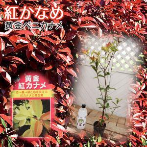 『 黄金 紅カナメ 』 10.5cmポット苗木|produce87