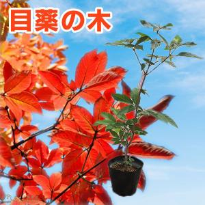目薬の木 ( メグスリノキ ) 13.5cmポット 苗木|produce87