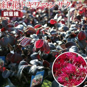 トキワマンサク『黒美人』(銅葉・紅花)12cmポット苗の画像