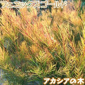 アカシアの木『 フェニックスゴールド 』 苗木 ( 珍種 )10.5cmロング〜12cmポット|produce87