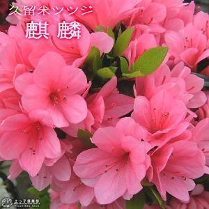 久留米ツツジ 『 麒麟 ( キリン ) 』 13.5cmポット苗 produce87