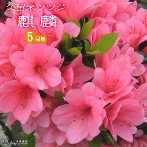 久留米ツツジ 『 麒麟 ( キリン ) 』 13.5cmポット苗 5本セット produce87