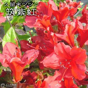 久留米ツツジ 『 筑紫紅 』 13.5cmポット苗 produce87