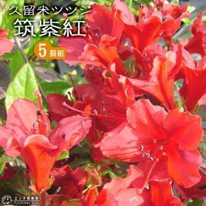 久留米ツツジ 『 筑紫紅 』 13.5cmポット苗 5本セット produce87