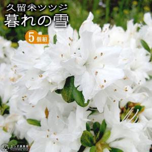 久留米ツツジ 『 暮れの雪 』 13.5cmポット苗 5本セット produce87