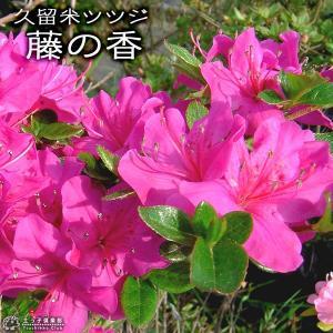 久留米ツツジ 『 藤の香 』 13.5cmポット苗 produce87