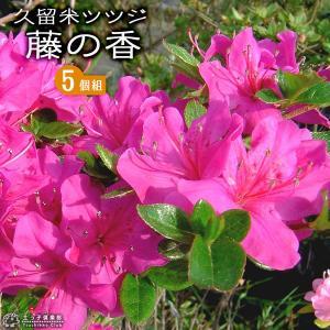 久留米ツツジ  『藤の香 』 13.5cmポット苗 5本セット produce87