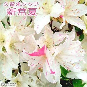 久留米ツツジ 『 新常夏 』 13.5cmポット苗 produce87