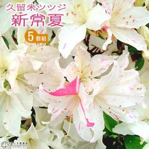 久留米ツツジ 『 新常夏 』 13.5cmポット苗 5本セット produce87