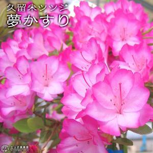 久留米ツツジ 『 夢かすり 』 6号スリット鉢植え|produce87