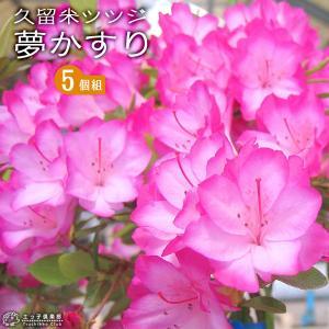 久留米ツツジ 『 夢かすり 』 6号スリット鉢植え × 5本セット|produce87