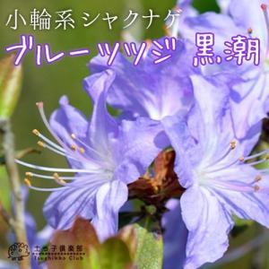 ブルーツツジ 『黒潮 (クロシオ)』 12cmポット苗|produce87