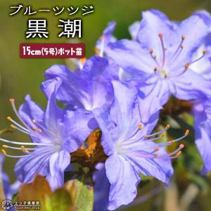 ( 花芽付き )ブルーツツジ 『 黒潮 ( クロシオ ) 』 15cmポット苗木 ( ミニシャクナゲ )|produce87