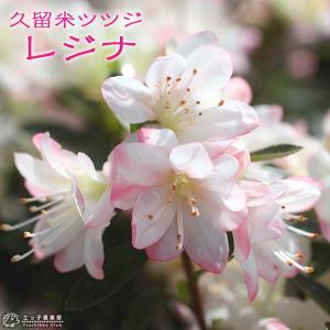 久留米ツツジ 『 レジナ 』 12cmポット苗|produce87