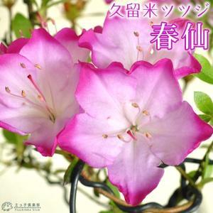 久留米ツツジ 『 春仙 (シュンセン)』 7.5cmポット苗 (盆栽仕立て)|produce87