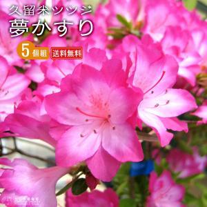 久留米ツツジ 『 夢かすり 』 5本セット ( 送料無料 ) 9cmポット苗 produce87